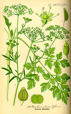 Petersilie (Petroselinum crispum), Illustration