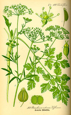 Illustration Petroselinum crispum0.jpg
