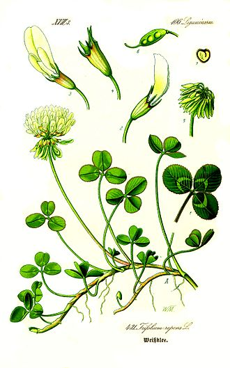 Otto Wilhelm Thomé - Image: Illustration Trifolium repens 1