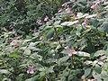 Impatiens maculata.jpg