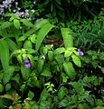 Impatiens puberula HWJK 2063 - Flickr - peganum.jpg