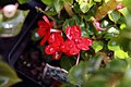 Impatiens wallerana Jellybean Red 1zz.jpg