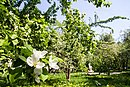 In Apple garden at Primorskaya - panoramio.jpg