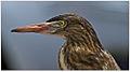 Indian Pond Heron (Ardeola grayii) Dharani Prakash.jpg