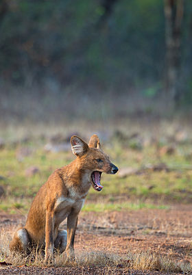 Indian Wild Dog a.k.a Dhole.jpg
