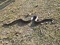 Indian rock python in Assam.jpg