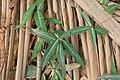 Indian sarsaparilla (Hemidesmus indicus ) 07574.jpg