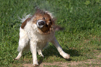 Instinct - An instinctive behavior of shaking water from wet fur.
