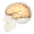 Intraparietal sulcus - lateral view.png