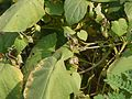 Ipomoea parasitica (Kunth) G. Don (4171296398).jpg