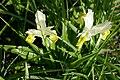 Iris bucharica in Jardin des Plantes 04.jpg