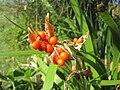 Iris foetidissima-capsule-2.jpg