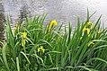 Iris pseudacorus R03.jpg