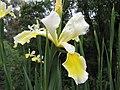 Iris spuria HRM2.JPG
