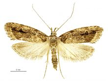 Izatha caustopa female.jpg