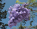 Jacaranda mimosifolia 5334.jpg