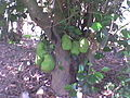 Jackfruit tree in Regunathapuram.jpg