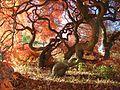 Japanese Threadleaf Maple, Cedar Hill Cemetery, Hartford, CT - November 5, 2013.jpg