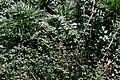 Jasminum nudiflorum 6zz.jpg