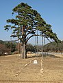 Jeongipumsong Pine, holding the post of government minister since 1464. - panoramio.jpg