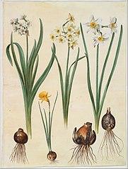 Narcissus tazetta; Narcissus orientalis; Corbularia bulbocodium