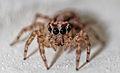 Jumping spider eyes 1.jpg