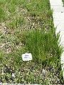 Juncus tenuis - Botanischer Garten München-Nymphenburg - DSC07833.JPG