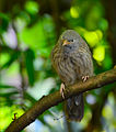 Jungle babbler2.jpg