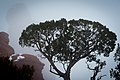 Juniper & fog, Garden of Eden. (8421706924).jpg