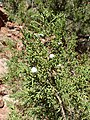 Juniperus osteosperma kz05.jpg