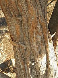 Juniperus oxycedrus 20120826 2.jpg