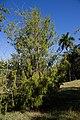 Juniperus saxicola CF9A4502.jpg