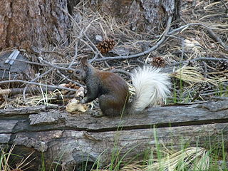 Kaibab squirrel subspecies of squirrel