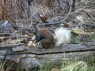 Kaibab squirrel - Image: Kaibab Squirrel