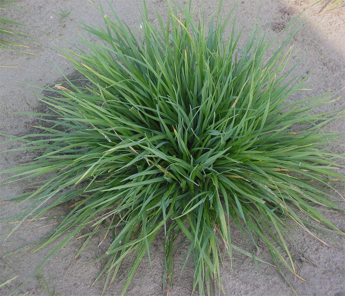 Grass Seed Dog Paw Symptoms