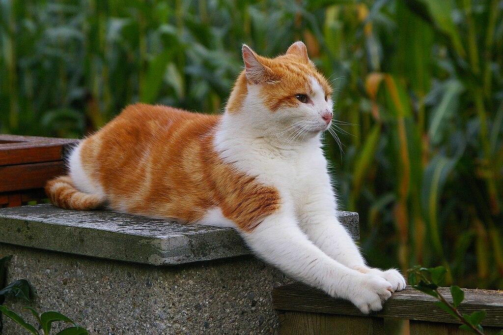 british shorthair chaton à DONNER
