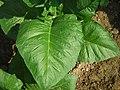 Kenbano tobacco leaf.jpg