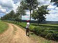 Kericho Tea Farm.jpg