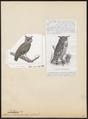 Ketupa javanensis - 1700-1880 - Print - Iconographia Zoologica - Special Collections University of Amsterdam - UBA01 IZ18400115.tif
