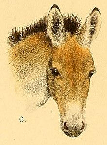 220px Kiang of Tibet Kiang Equus from the book entitled The great and small game of India Burma and Tibet % cropped