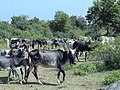 Kidaiyan cattle grazing 1.JPG