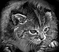 Kitten (8225144171).jpg