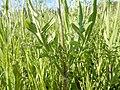 Knautia arvensis - 35454607490.jpg