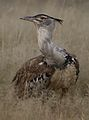 Kori bustard, Ardeotis kori, at Kgalagadi Transfrontier Park, Northern Cape, South Africa (34494052416).jpg