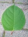 Korina 2012-06-18 Fallopia japonica 5.jpg
