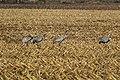 Kraniche Huvenhoopsmoor 2015-11-04 C7D28359 DxOa.jpg