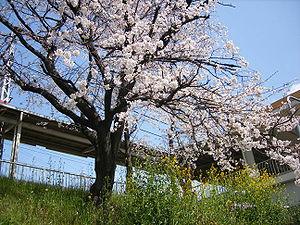 Cherry tree blossom at Hankyu Nishikyogoku Sta...