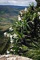 Lírio-branco da Serra da Canastra.jpg