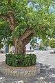 La Acacia2. Benitagla.jpg