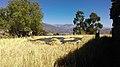 La trilla de trigo en Vallicopampa.jpg